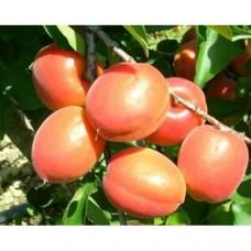 Саженец абрикоса Медиабель