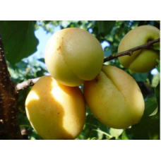 Саженец абрикоса Ананасный