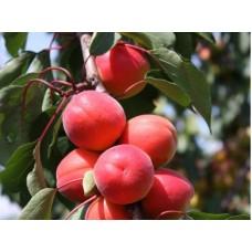 Саженец абрикоса Дженгат