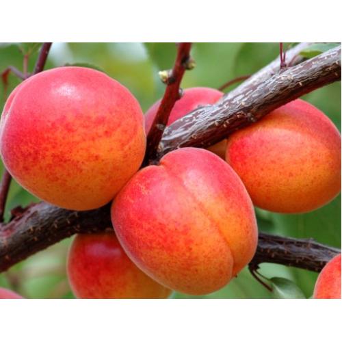 Саженец абрикоса Харкот (Kharkot)