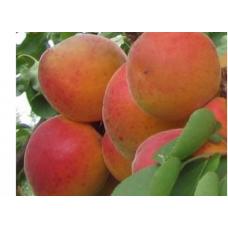 Саженец абрикоса Лескоре (Leskore)