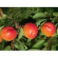 Саженец абрикоса Пинкот