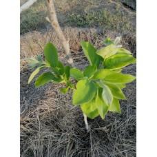 Методика правильной посадки саженцев плодовых культур.