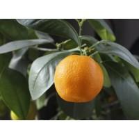 Апельсин Сукрена