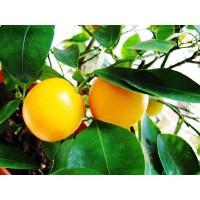 Апельсин Мерлин
