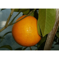 Апельсин Навелина