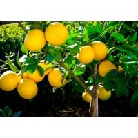 Лимон Киевский