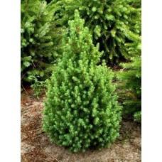 Ель канадская Коника Picea Conica