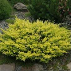 Можжевельник горизонтальный Лайм Глов juniperus horizontalis lime glow.