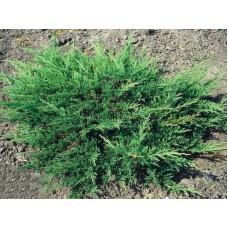 Можжевельник горизонтальный Принц Уэльса Juniperus horizontalis Prince of Wales