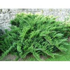 Можжевельник казацкий Тамарисцифолия Juniperus sabina