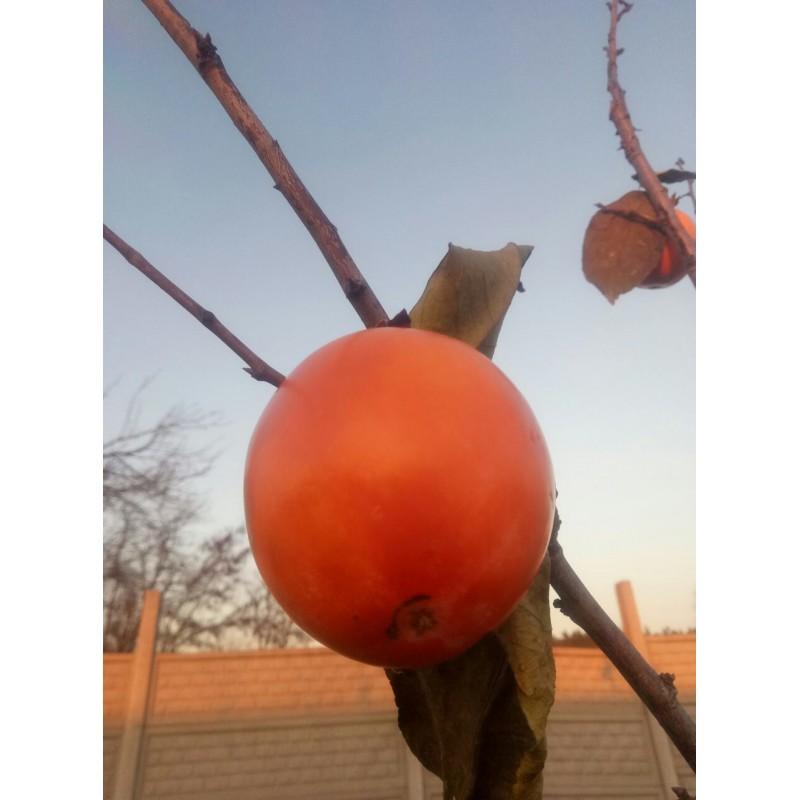 Хурма никитская бордовая выращивание 61
