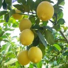 Саженец лимона.