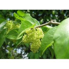 Саженец кудрании (мужское растение)