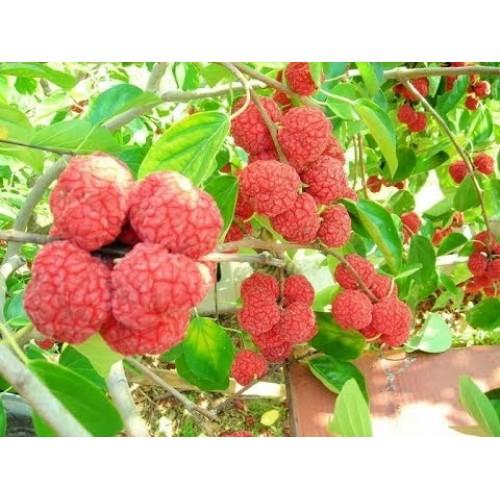 Саженец кудрании (женское растение)