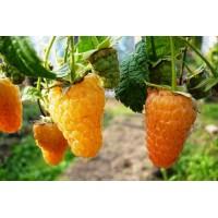 Саженец малины Оранжевое Чудо.