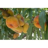 Саженец инжирного персика Бельмондо