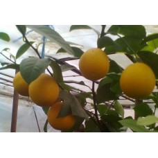 Привитый саженец апельсина.