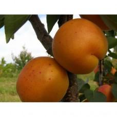 Саженец абрикоса Ледана (Ledana)