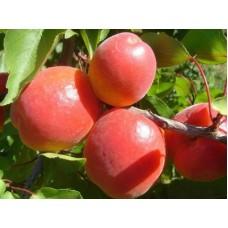 Саженец абрикоса Спринг Блаш (Spring Blush)