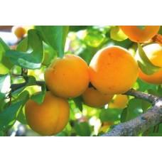 Саженец абрикоса Голд Рич