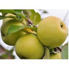 Саженец яблони Био Голден