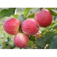 Саженец яблони Эрли Женева
