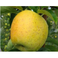 Саженец яблони Голд Раш