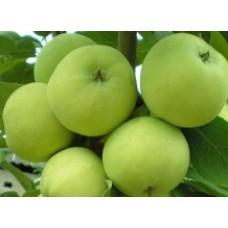 Саженец яблони Гринсливз