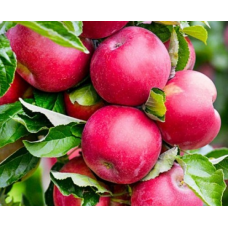 Саженец яблони колоновидной Арбат (Arbat)