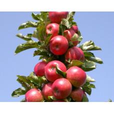 Саженец яблони колоновидной Джина (Dzhina)