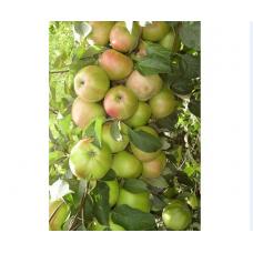 Саженец яблони колоновидной Президент (Prezident)