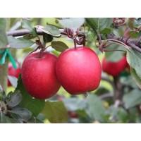 Саженец яблони Сирена (Sirene)