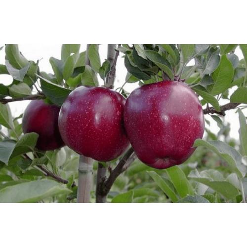 Саженец яблони Ред Джонапринц