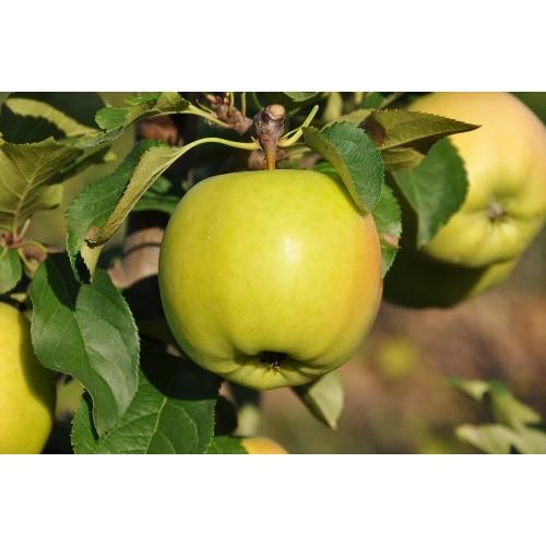 Саженец яблони Сириус.