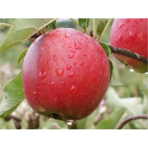 Саженцы яблони Катя (Katja)