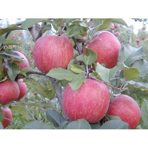 Саженец яблони Фуджи Кику