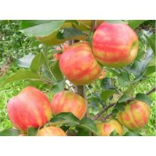Саженец яблони Карнавал