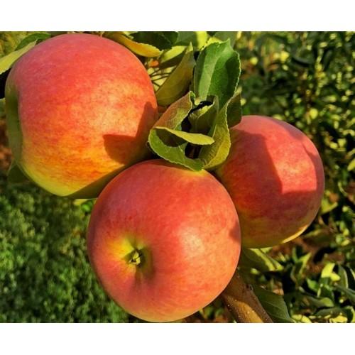 Саженец яблони Пирос