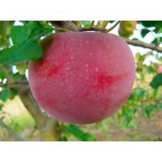 Саженец яблони Аскольда