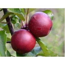 Саженец яблони Байя Мариса