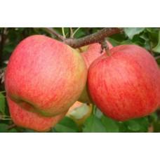 Саженец яблони Чемпион Арно (Chempion Arno)