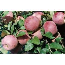 Саженец яблони Флорина (Florina)