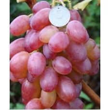 Саженец винограда ГЕЛИОС