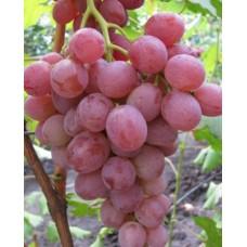 Саженец винограда АНЮТА