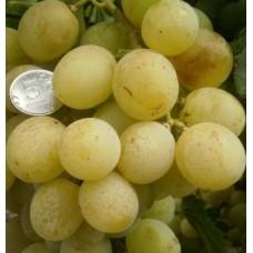Саженец винограда АНТОНИЙ ВЕЛИКИЙ