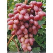 Саженец винограда АРИСТОКРАТ, А-А-1, А-А-1-1.