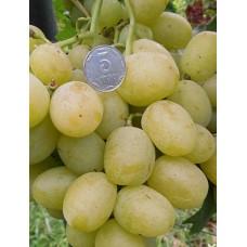 Саженец винограда БОГАТЯНОВСКИЙ