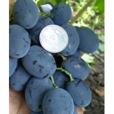 Саженец винограда ГАЛА