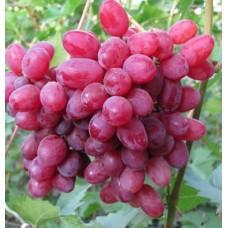 Саженец винограда ВЕЛЕС
